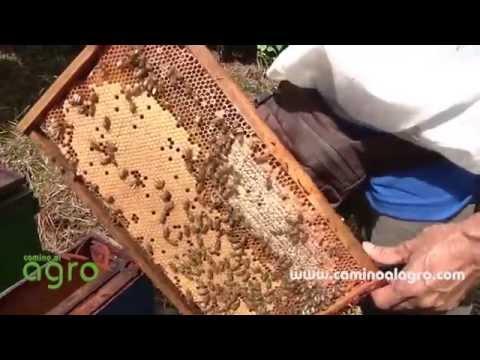 Producción de Cera de Abejas y su Aprovechamiento -Apicultura- TvAgro por Juan Gonzalo Angel