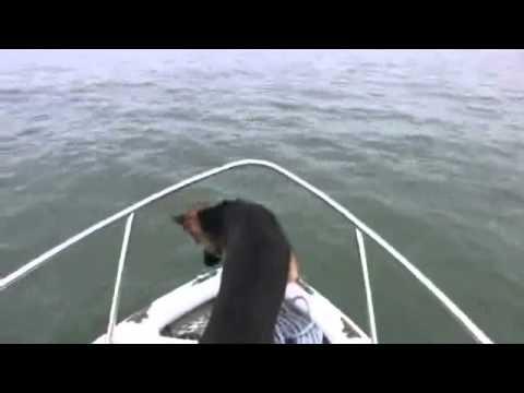 כלב רוצה לשחות עם דולפינים