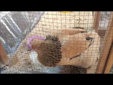 טיפול סו-ג'וק בתרנגולת