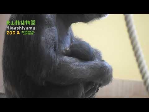 【東山動植物園公式】チンパンジーの赤ちゃん