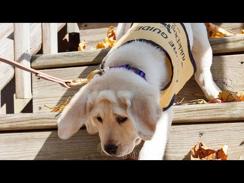 The Guide Dog Foundation Has A Dream Job For Puppy Lovers !