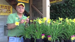 Landscaping Ideas - Daylilies