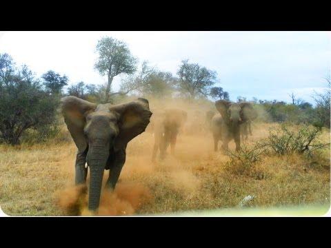 Elephant ATTACKS Safari Jeep