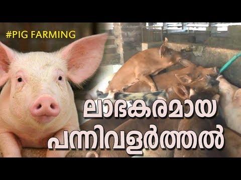PIG FARM l PIG FARMING KERALA l പട്ടാമ്പി സുരേട്ടന്റെ പന്നി ഫാം