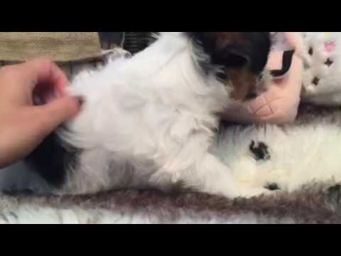 SO CUTE AND PLAYFUL MORKIE PUPPY!