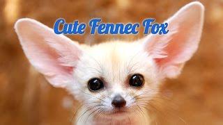 Смешные животные. Лиса фенек || Funny animals. Fennec fox