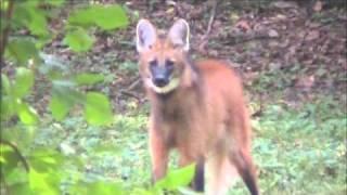 The seldom heard roar-bark of the Maned Wolf