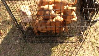 Pitbull Puppies 7 weeks old  (Hmong Pitbull)