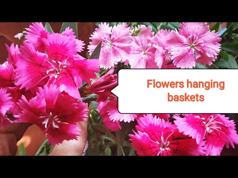 फूलो से भरी होगी Hanging Baskets ये पौधा लगायेगे तो /Organic gardening landscape