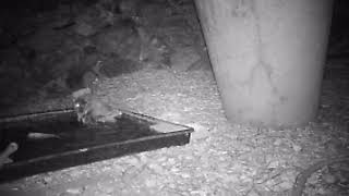 Arizona Burrowing Owl Drinking And Taking A Bath Caught On Trail Camera