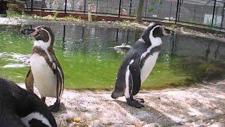 Забавные пингвины   Зоопарк Кирьят Моцкин