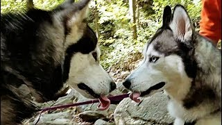Malamute Meets Husky At Amicalola Falls!!!!!! Episode 23