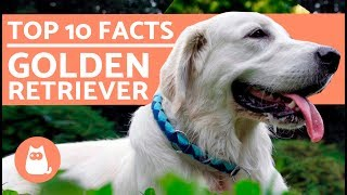 What To Know About Golden Retrievers - Top 10 Facts