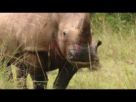UWA set to return rhinos to national parks