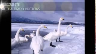 preview picture of video 'Gran peste: 2.000 gansos caen del cielo muertos en EE.UU'