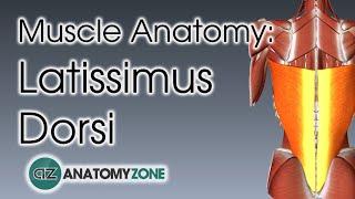 Latissimus Dorsi | Muscle Anatomy