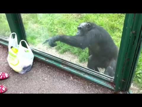 Smart Chimpanzee (Akıllı Şempanze) ~ 2 . [Wants to Drink Coke]