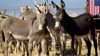 Donkey adoption: only 50 donkeys left from Big Island are still available for adoption - TomoNews