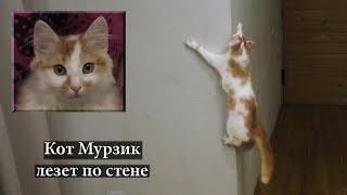 Кот Мурзик лезет по стене