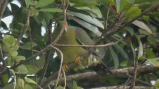 preview picture of video 'Colombar à front nu Treron calvus African Green-Pigeon'