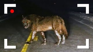 INCREDIBLE ENCOUNTERS OF WILD ANIMALS ON THE ROAD CAUGHT ON CAMERA