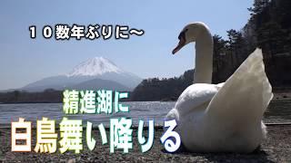 「白鳥舞い降りる」精進湖に数十年ぶりの飛来 Go!Go!NBC!