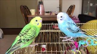 セキセイインコ手乗り雛飛びまくる♪Cute baby budgies flying/parakeet