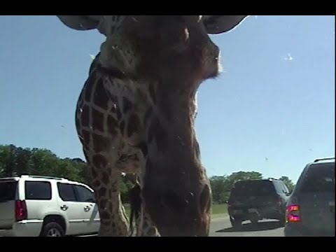 Close up of Giraffe at Safari in NJ