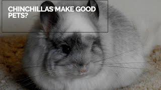 5 Reasons Why Chinchillas Make Good Pets
