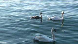 Cajkovski- Labudovo (labudje) jezero.wmv (Swan lake)