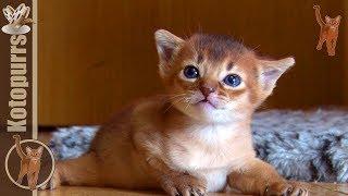 Маленький абиссинский котенок 3-х недель от роду [kotopurrs]