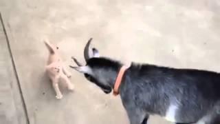 козёл и котёнок зверь   Видео прикол смотреть, скачать онлайн бесплатно