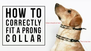 How to Correctly Fit a Prong Collar