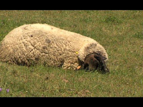 Zagryzione stado owiec