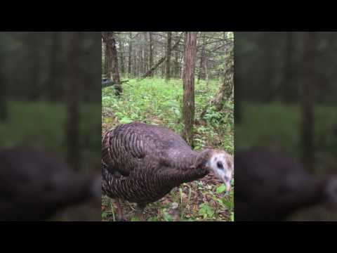 wild turkey gets too close to hunting