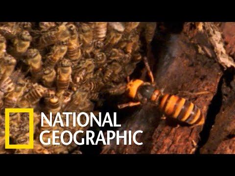 """日本蜜蜂如何""""熱死""""虎頭蜂"""