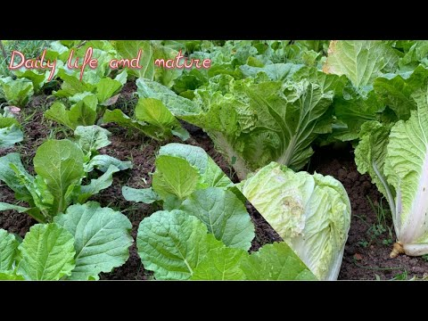 , title : 'How To Grow Napa Cabbage    How To Care Napa Cabbage    Chinese Cabbage Growing