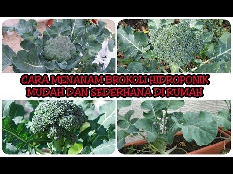 Video Cara Menanam Brokoli Hidroponik Mudah Dan Sederhana Di Rumah