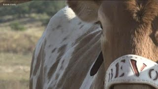 Heres A Longhorns Game Day In The Life Of BEVO XV | KVUE