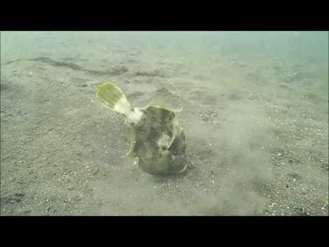 水中映像:カワハギ