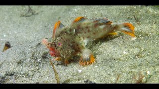 Stunning new video of rare Red Handfish launches research funding appeal