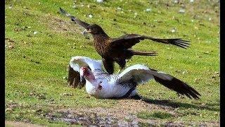 Kỳ lạ loài chim săn mồi thích tấn công những con vật to lớn  và khoẻ mạnh hơn mình