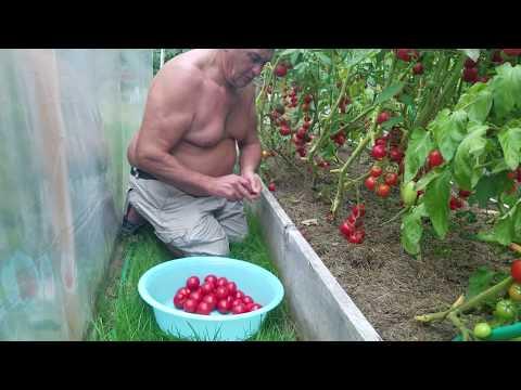 Лучшие сорта томатов на консервирование и засолку
