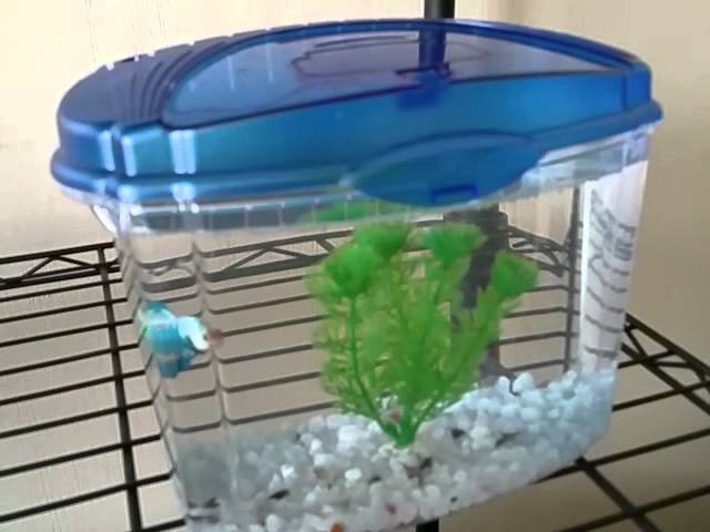 Aqueon betta bowl fish tank/aquarium review