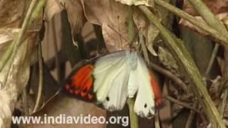 Giant Orange Tip or Hebomoia glaucippe