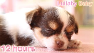 ☆ 12 HOURS ☆ Puppy Sleeping Music ♫ RELAXING MUSIC ☆ Peaceful sleep music for dogs, pets