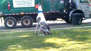 My Great Dane wanting to attack the garbage truck.