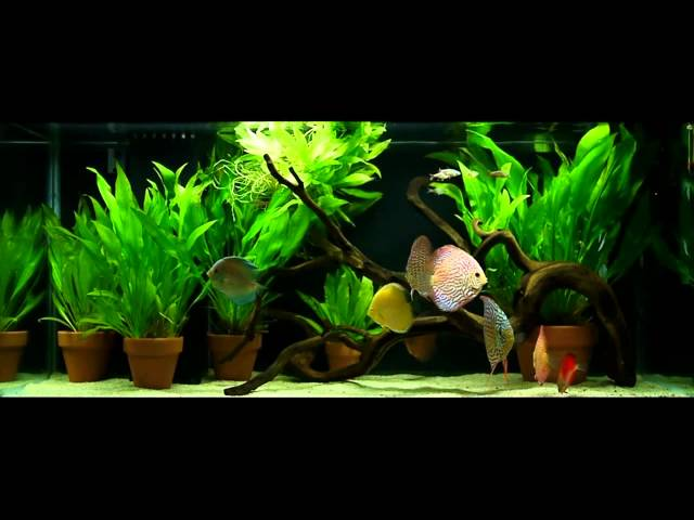 Discus in 75 gallon planted tank with Amazon Sword plants