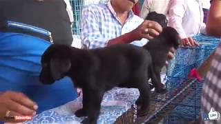 Labrador Dog Price In Kolkata Market 免费在线视频最佳电影电视节目