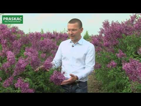 Flieder im Garten - Klassiker und Neuheiten